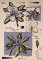 Southern Magnolia - Fall