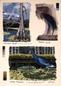 Water Peacock