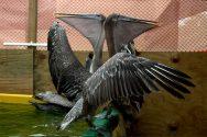 Cleaned Pelicans